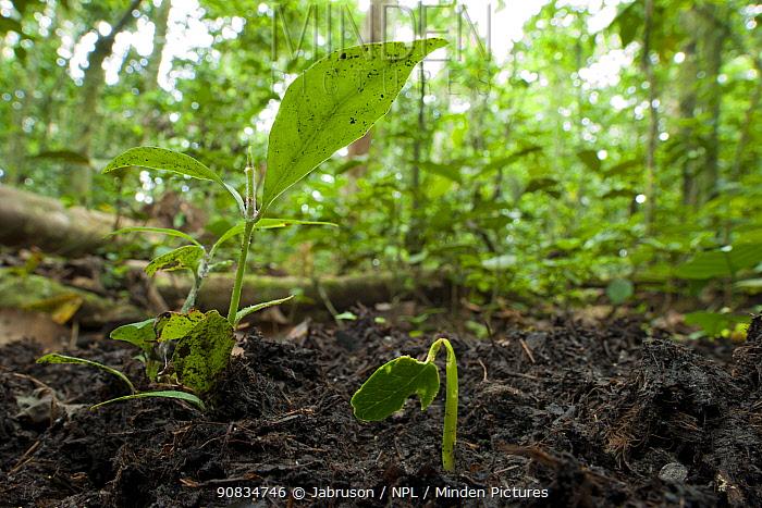 'Liamba' seedlings (Desplatsia dewevrei) sprouting from African Forest Elephant dung (Loxodonta africana cyclotis) Bai Hokou, Dzanga-Ndoki National Park, Central African Republic.