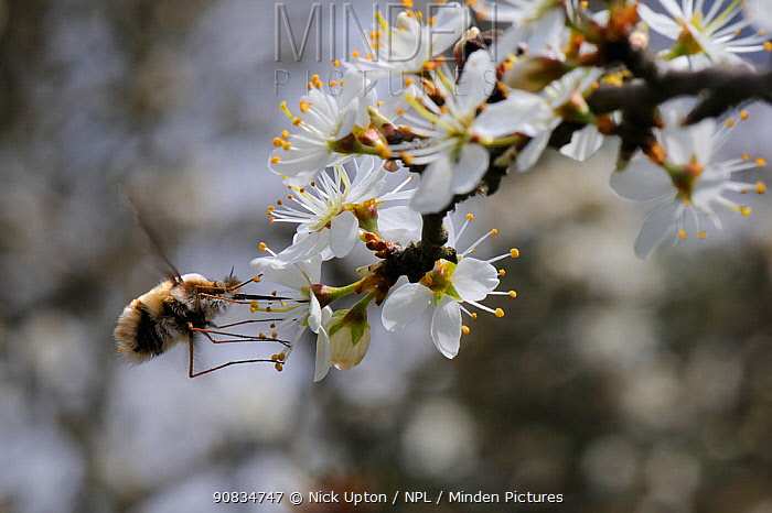 Common bee fly (Bombylius major) hovering to feed from Blackthorn blossom (Prunus spinosa), Wiltshire, UK, April.