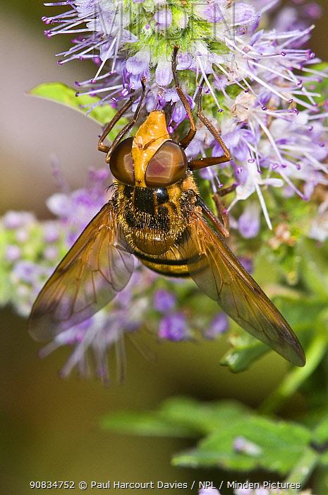 Hoverfly (Milesia crabroniformis) feeding on flower, Aquapendente, Lazio, Italy, July