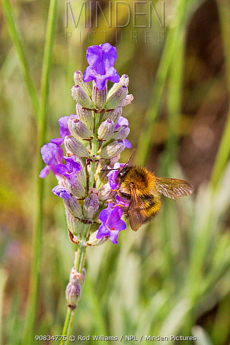 Common Carder Bumblebee (Bombus pascuorum) feeding on lavender Lewisham, London, August
