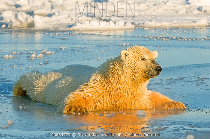 Polar bear (Ursus maritimus) juvenile spreading body weight over thin newly forming pack ice, trying not to break through, Beaufort Sea, off the 1002 area of the Arctic National Wildlife Refuge, North Slope, Alaska