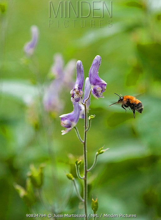 Aconite bumblebee (Bombus consobrinus) in flight to flower, eastern Finland, July.