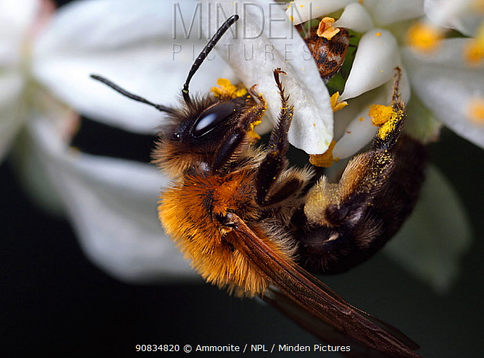 Mining bee (Andrena nitida) on flower, Bristol, England, UK, May.