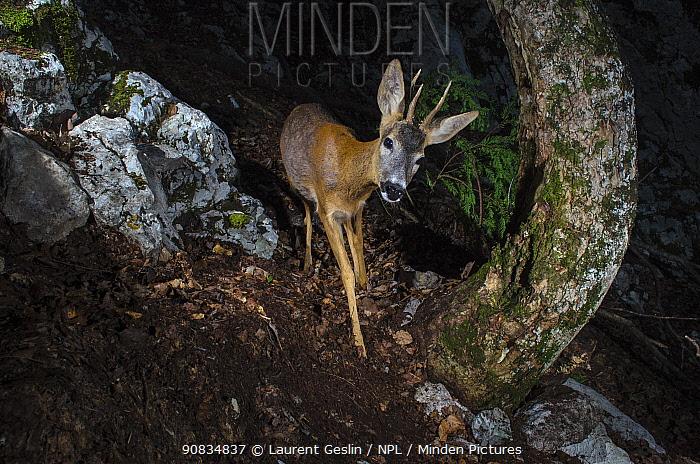 Roe deer (Capreolus capreolus) remote camera image, Jura Mountains, Switzerland. May.