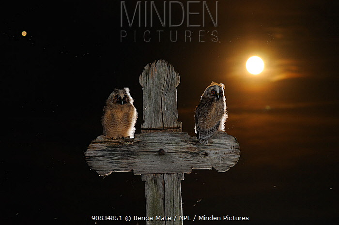 Long eared owl (Asio otus) chicks perched on a cross, with the moon, in the background, Puszatszer, Hungary, June.