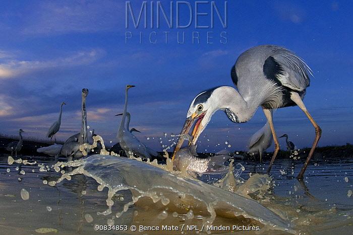 Grey heron (Ardea cinerea) catching fish, taken with remote camera, Pusztaszer, Hungary, June.