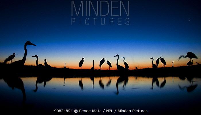 Grey herons (Ardea cinerea) standing in water a dawn, Puszaszer, Hungary, July.