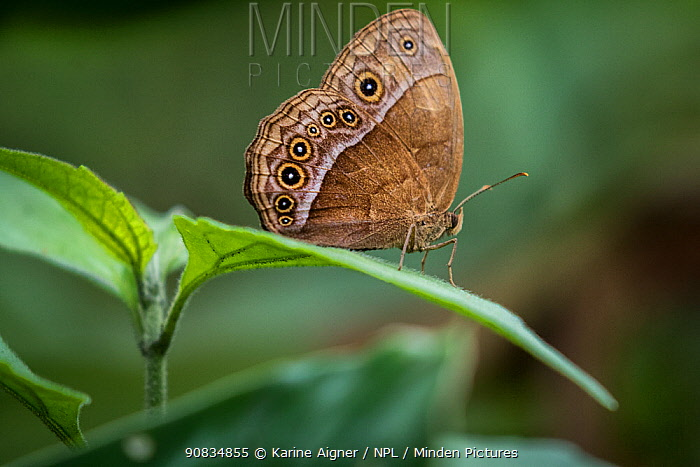 Butterfly on leaf, Salonga National Park., Democratic Republic of Congo.