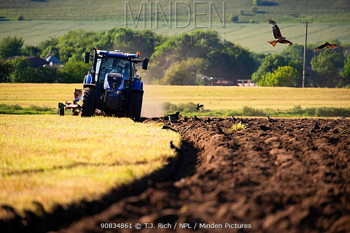Red kites (Milvus milvus) following the plough with corvids, Pewsey Vale, Wiltshire, UK, May.