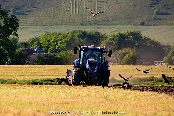 Red kites (Milvus milvus) following the plough with Corvids (Corvus sp.) Pewsey Vale, Wiltshire, UK, May.
