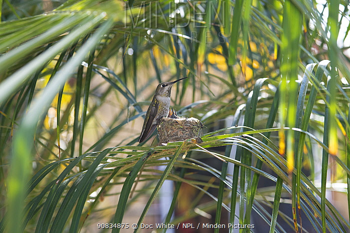 Anna's hummingbird (Calypte anna) mother at nest with young, Southern California, USA