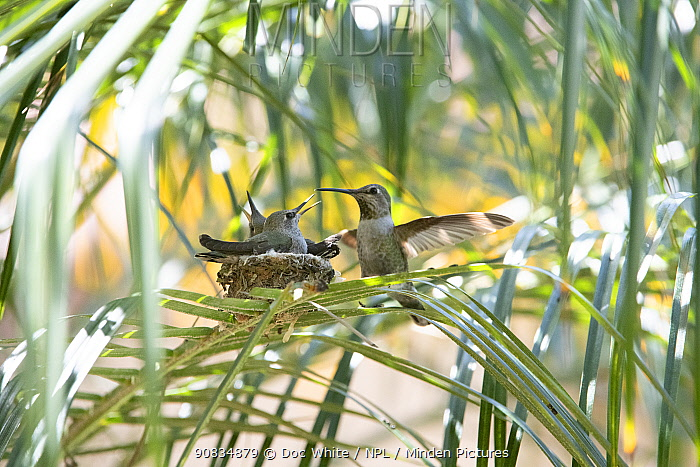 Anna's hummingbird (Calypte anna) with young at nest, Southern California, USA