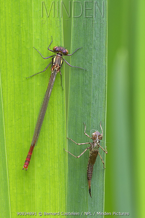 Large red damselfly (Pyrrhosoma nymphula) recently emerged from nymphal case (right), Brasschaat, Belgium. April