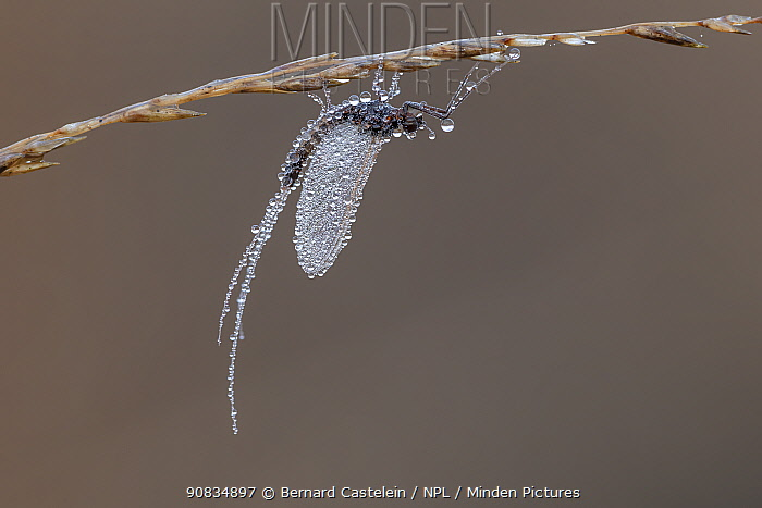 Mayfly (Leptophlebia sp.) covered in dew hanging from grass, Klein Schietveld, Brasschaat, Belgium