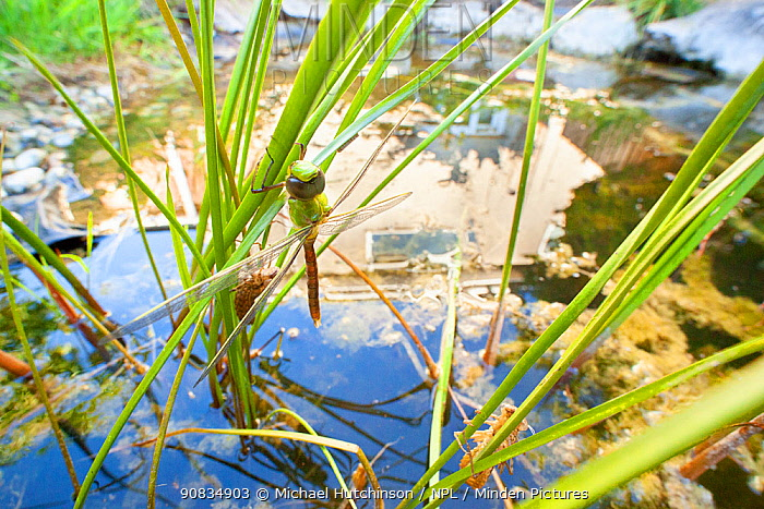 Emperor dragonfly (Anax imperator) newly emerged adult hangs above garden pond with reflection of house, Bristol, UK, May