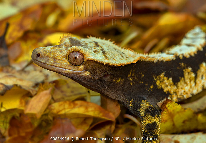 Crested gecko (Correlophus ciliatus), New Caledonia, controlled conditions