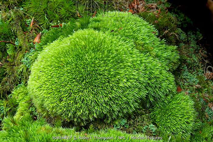 Pin cushion moss (Leucobryum glaucum) Tollymore Forest Park, Newcastle, Co. Down, Northern Ireland