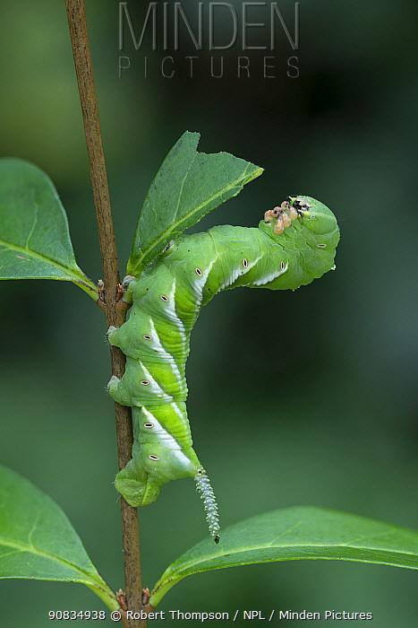 Plain grey hawkmoth larva (Psilogramma increta), Amagaski City, Hyogo, Japan