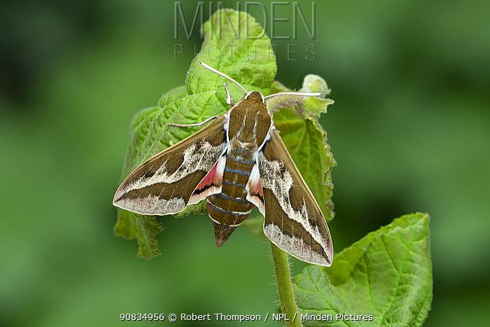 Smoky Spurge Hawk-moth (Hyles dahlii), Siniscola, Nuoro province, Monte Albo, Sardinia