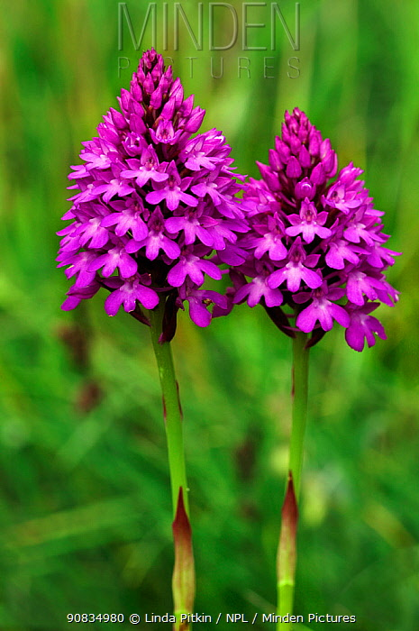 Pyramidal orchids (Anacamptis pyramidalis) two in flower, Riddlesdown, Surrey, England, July.