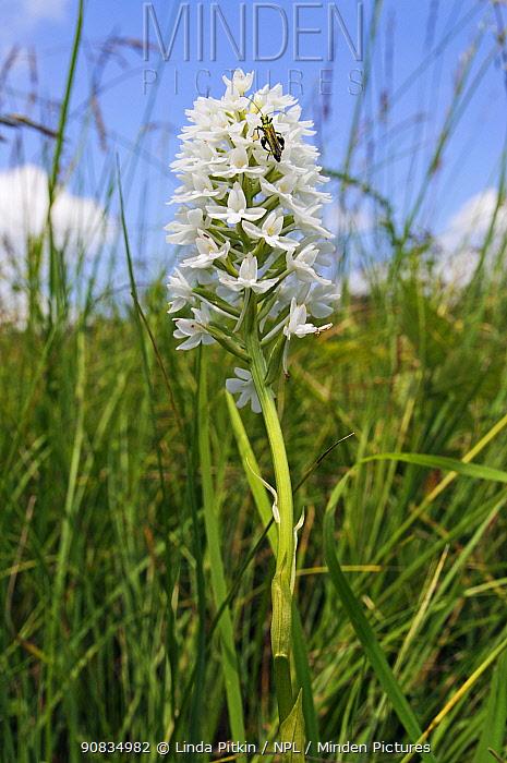 Pyramidal orchid (Anacamptis pyramidalis), rare white variety, with Thick legged flower beetle (Oedemera nobilis) Albury Downs, Surrey, England, June.