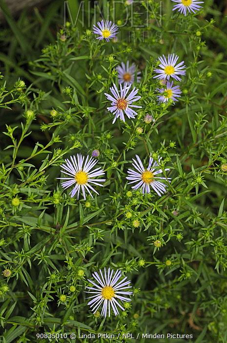 Hairy michaelmas daisy (Aster novae-angliae) Ham Common, Surrey, England, August.