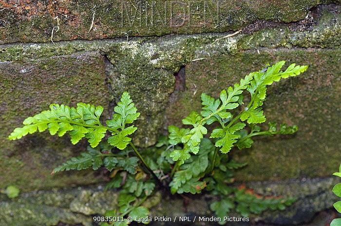 Black spleenwort (Asplenium adiantum-nigrum), a fern growing on a wall, St Peter's Church, West Molesey, Surrey, England, May.