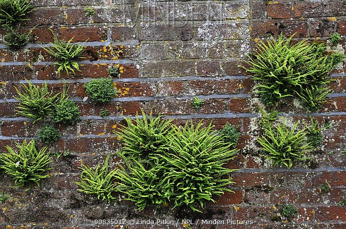 Maidenhair spleenwort (Asplenium trichomanes), and Wall-rue (Asplenium ruta-muraria), ferns growing on wall, Ham House, Ham, Surrey, England, June.