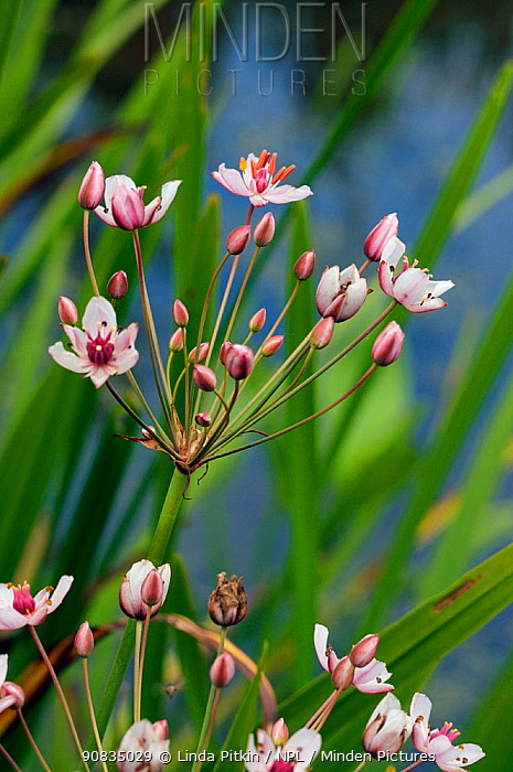Flowering-rush (Butomus umbellatus), locally rare plantLangham Ponds SSSI, Surrey, England, July.