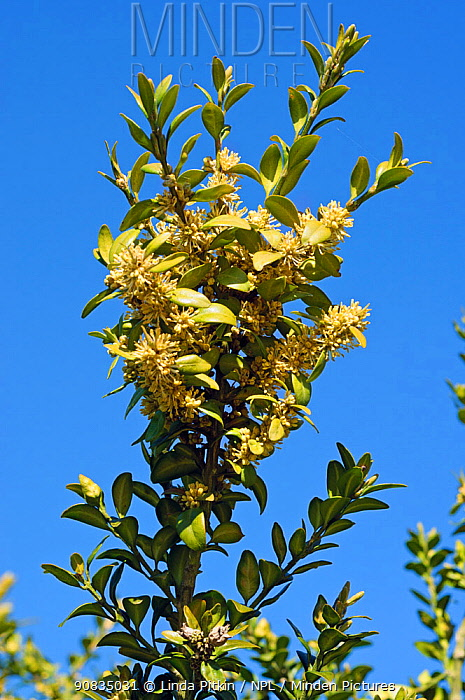 Box (Buxus sempervirens), in flower, locally rare plant,Mickleham Downs, Surrey, England, April.