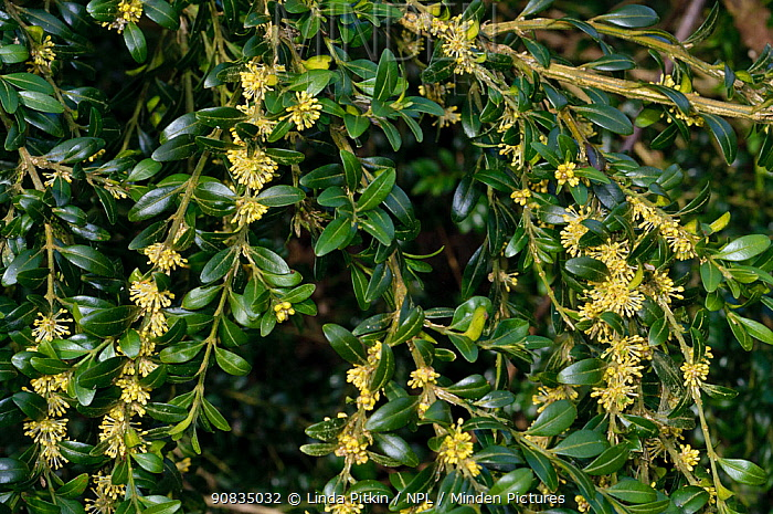 Box (Buxus sempervirens), in flower, locally rare plant,Box Hill, Surrey, England, March.