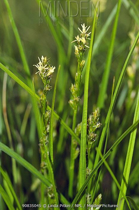 Grey sedge (Carex divulsa subsp. divulsa)  Hampton Estate, Surrey, England, May.