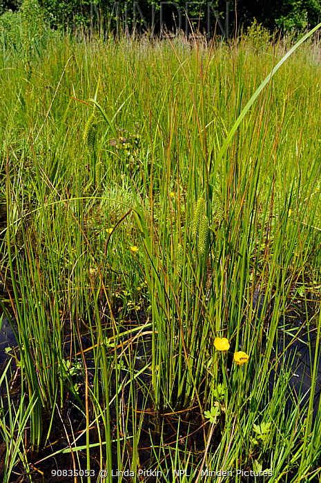 Cyperus Sedge (Carex pseudocyperus)