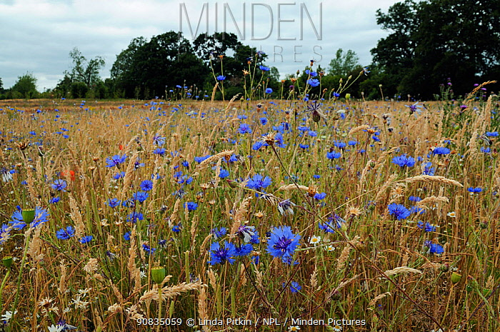 Cornflowers (Centaurea cyanus) growing with grasses and poppy seed heads, locally rare plant,Probably not native at this site. Clandon Wood, West Clandon, near Guildford, Surrey, England, July.