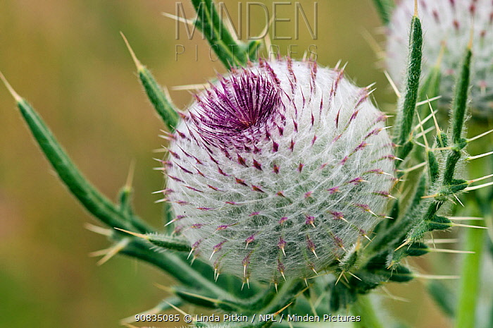 Woolly thistle (Cirsium eriophorum), bud, locally rare plant, Happy Valley, Coulsdon, Surrey, England, July.