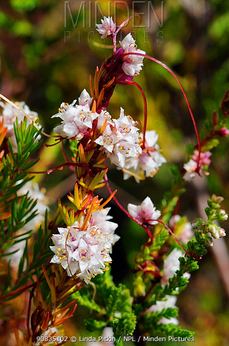 Dodder (Cuscuta epithymum) in flower, a locally rare, parasitic plant, on Cross-leaved Heath (Erica tetralix) Esher Common SSSI, Surrey, England, July.