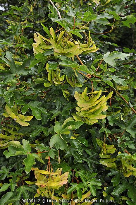 Field maple (Acer campestre), fruit / keys Juniper Top, Box Hill, Surrey, England, August.