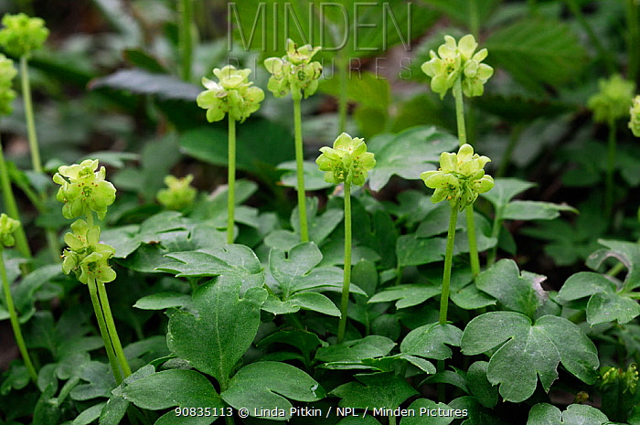 Moschatel (Adoxa moschatellina) West Hanger, Shere Woodlands (SWT), Surrey, England, April.