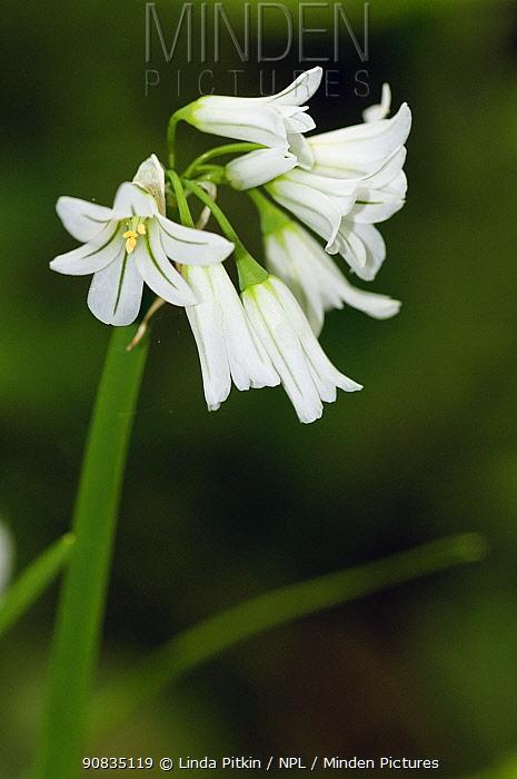 Three-cornered garlic (Allium triquetrum) in flower, Frylands Wood, Farleigh, Surrey, England, May.