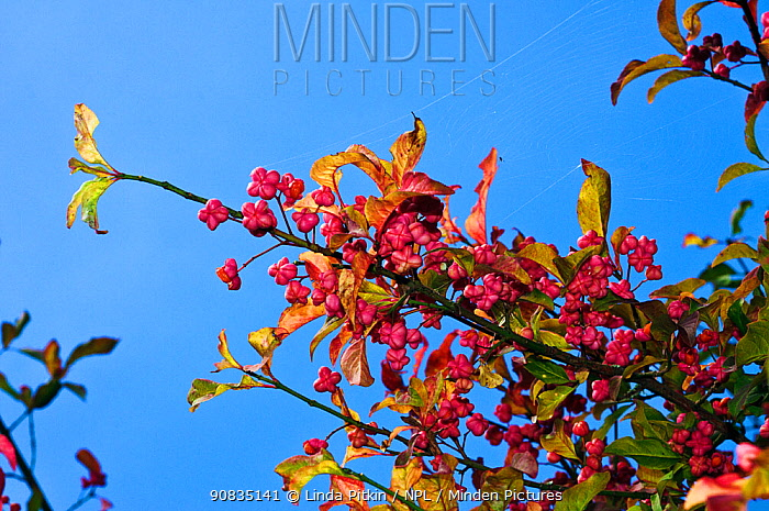 Spindle (Euonymus europaeus), fruit, Riddlesdown, Surrey, England, September.