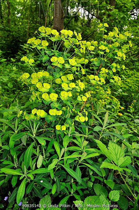 Wood spurge (Euphorbia amygdaloides) in flower,