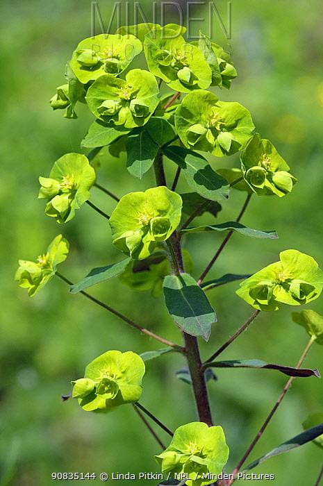 Wood spurge (Euphorbia amygdaloides), in flower, Staffhurst Wood, Surrey, England, April.