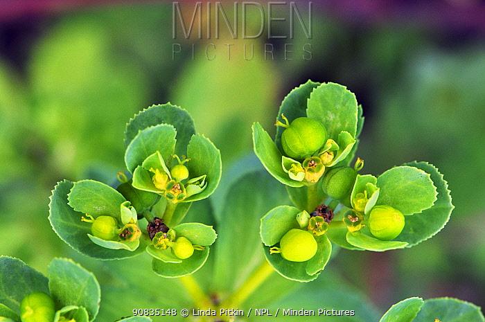 Sun spurge (Euphorbia helioscopia) in flower, growing wild in an allotment. Great Bookham, Surrey, England, August.