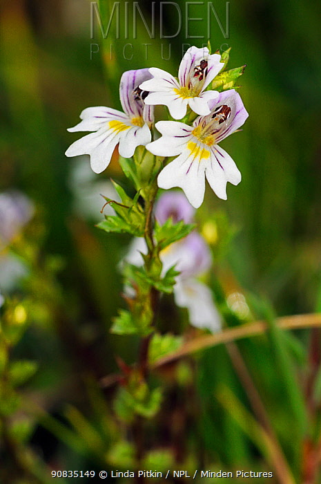 Chalk eyebright (Euphrasia pseudokerneri), in flower. Locally rare plant, Box Hill, Surrey, England, September. Endangered species.