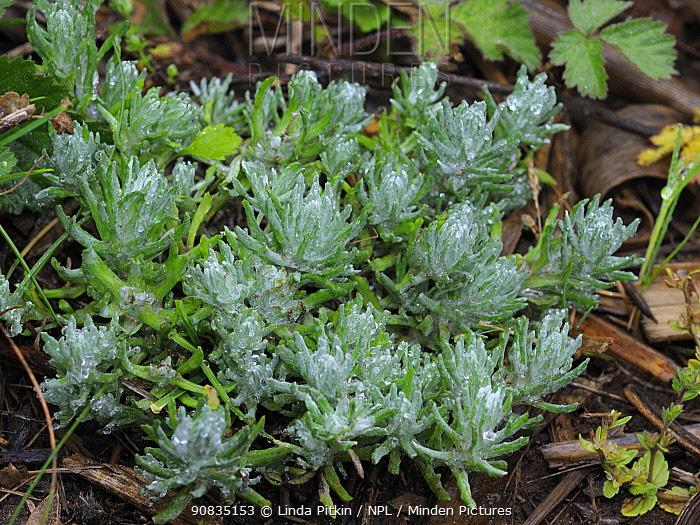Common cudweed (Filago vulgaris), locally rare plant, Surrey, England, June.