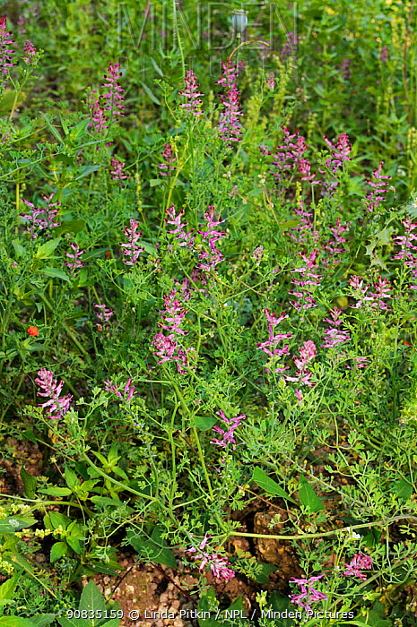 Common fumitory (Fumaria officinalis) in flower, Ranscombe Farm Nature Reserve, Kent, England, July.