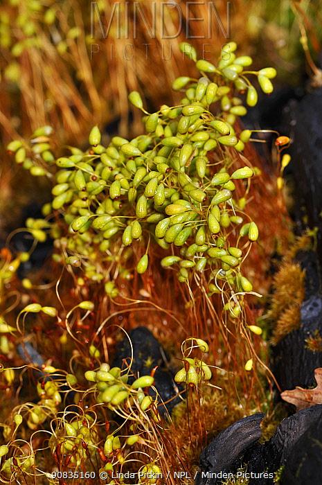 Bonfire-moss / Common Cord-moss  (Funaria hygrometrica), on burnt ground. Surrey, England, May.