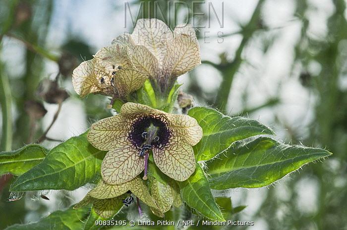 Henbane (Hyoscyamus niger) in flower, rare plant,   Surrey, England, August.