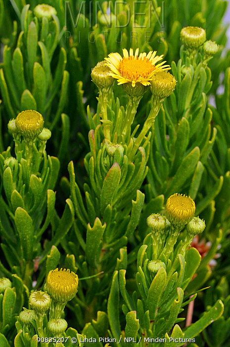 Golden samphire (Inula crithmoides) in flower, 