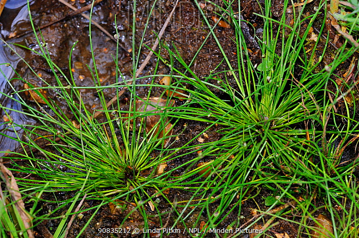 Bristle club-rush (Isolepis setacea), locally rare plant, Henley Park Range, Surrey, England, August.